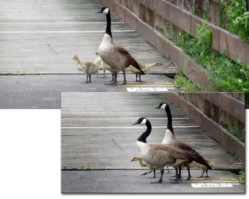 GooseFamily_5322